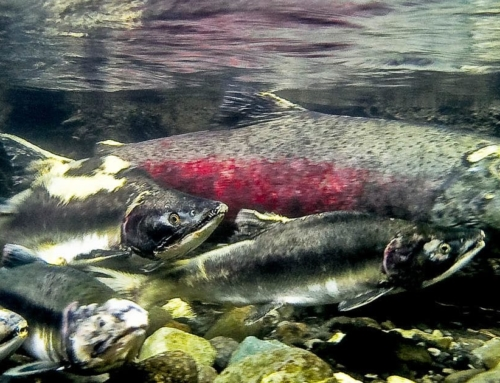 Salmon Resiliency